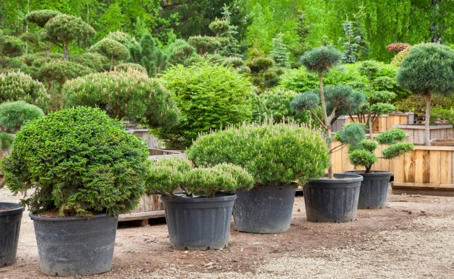 Pine in pots and bonsai garden plants on tree farm